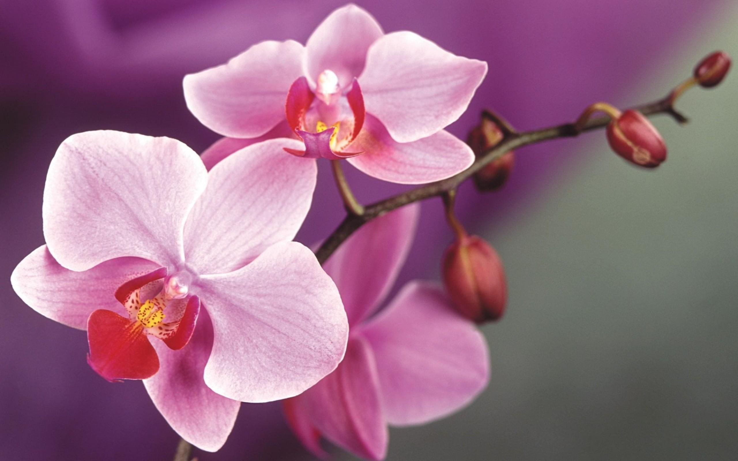 Как дома добиться цветения орхидеи