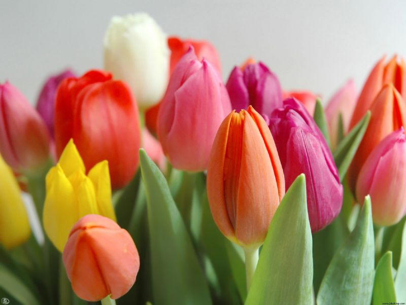 Интересные факты о главном весеннем цветке