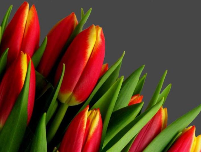 Страна, наполненная ароматами тюльпанов