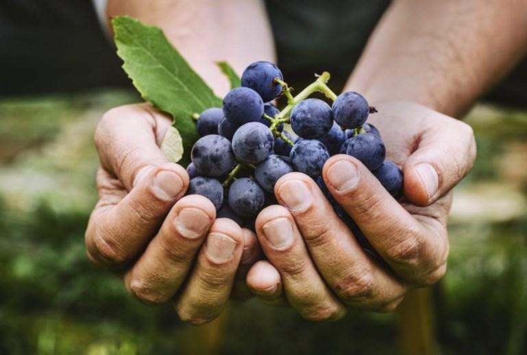 Полезные качества винограда. От каких болезней нас спасает виноград.