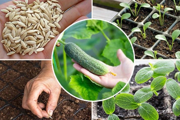 Как правильно сажать огурцы, чтобы получить хороший урожай